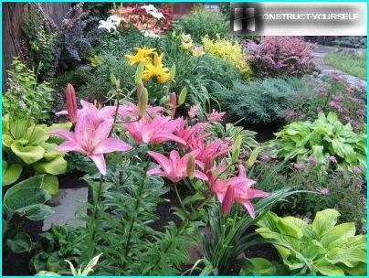 Liljat, joita ympäröivät pensaat ja ikivihreät