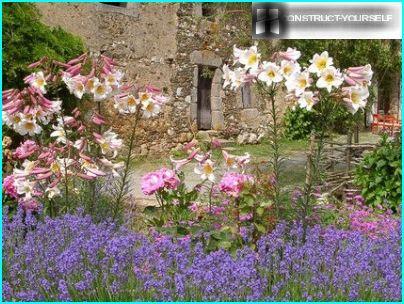 Valkoinen-vaaleanpunainen lilja sinisillä kukilla