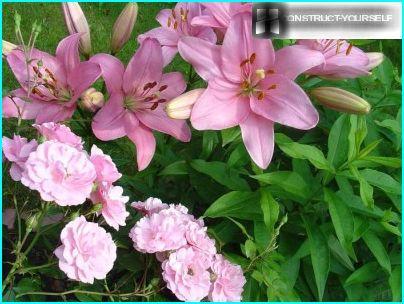 Liljat ja ruusut kukkapenkissä