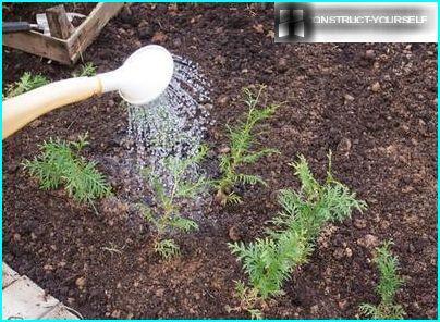 Plante stiklinger