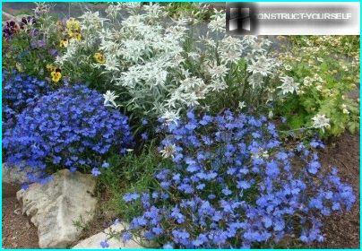 Lobelia med edelweiss i blomsterbedet