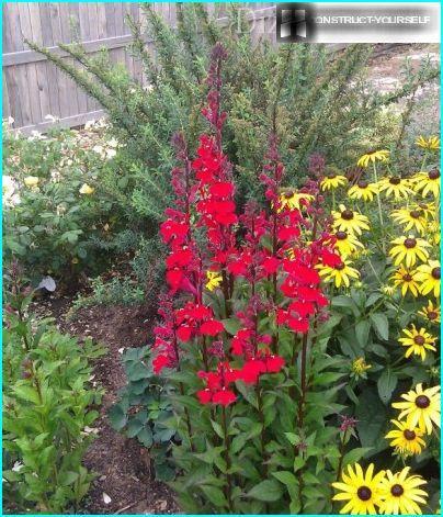 Rød lobelia i et blomsterbed med rudbeckia