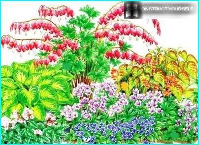 Dizentra i blomsterbedet