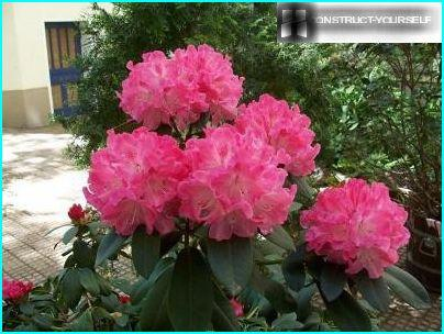 Rhododendron i haven
