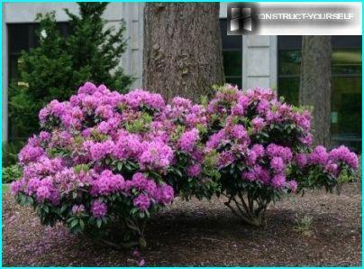 Rhododendron i skyggen