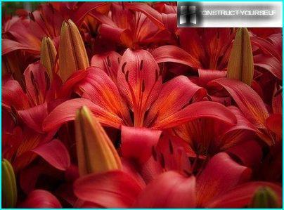 Varjostimet liljat
