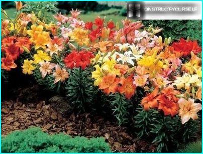 Maaperä liljoille