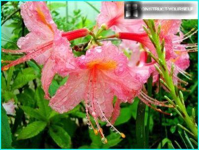 Vanding rhododendron