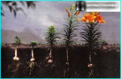 Välejä ja kaivoja liljoille