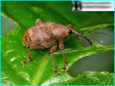 Weevil skadedyr