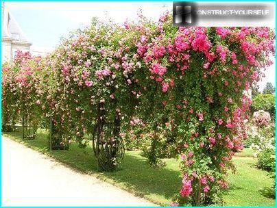 Відстань між трояндами