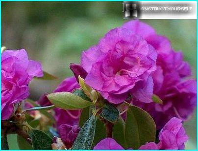 Daurian Rhododendron