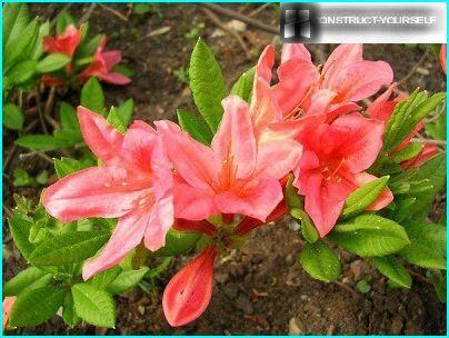 Japansk rododendron