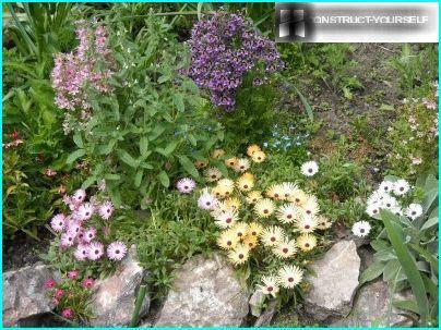 Доротеантус са високим цвећем