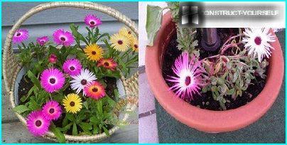 Доротеантус у саксији за цвеће