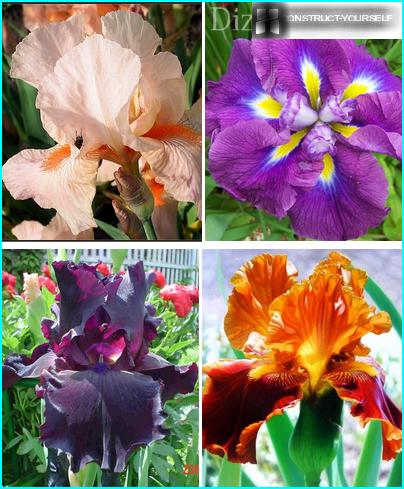 Den smukke iris er kongen af haven