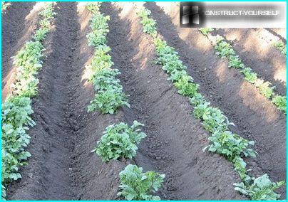 The rows of potatoes after treatment with Hiller
