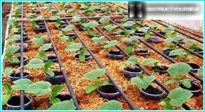 Drip irrigation cucumber seedlings in a greenhouse