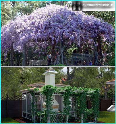 Pergolaer sammenflettet med wisteria og vilde druer