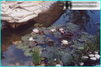Kad ūdens nogulumu dēļ kļūst duļķains, dīķa virsma iegūst brūnganu nokrāsu