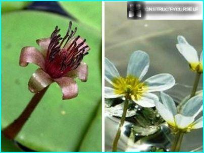 Skaisti ziedoši dziļūdens augi