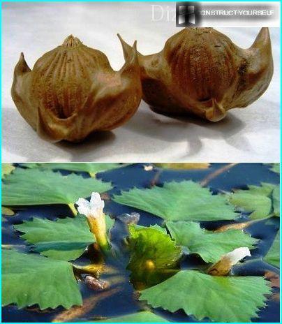 Alkuperäinen muoto vesipähkinä