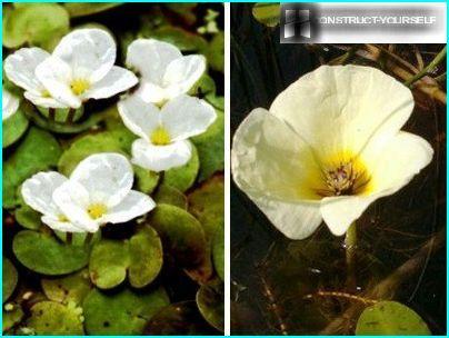 Peldošo augu dekoratīvās šķirnes