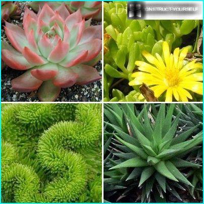 Dekorative sorter af sukkulenter