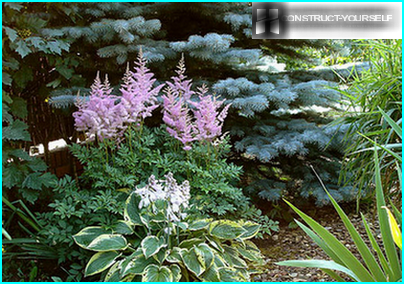 "Lilac ""torches"" astilbe on the background of blue spruce"